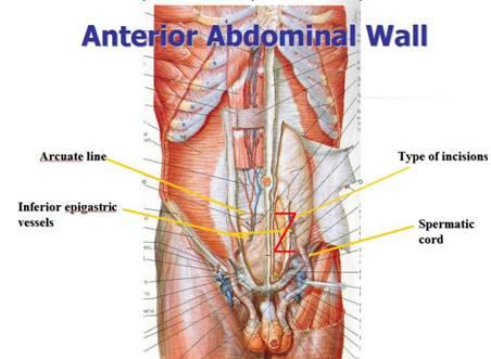 Anterior Abdominal Organs Diagram - DIY Enthusiasts Wiring Diagrams •